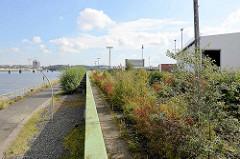 Hochwasserschutzanlage am Holthusenkai in Hamburg Kleiner Grasbrook - re. mit jungen Bäumen und Gebüsch überwucherte Gleisanlage am ehemaligen Übersee Zentrum; im Hintergrund die Hamburger Elbbrücken.