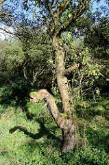 Alter Apfelbaum mit Moos bewachsen - Apfelplantage im ehem. Dorfgebiet von Hamburg Altenwerder.
