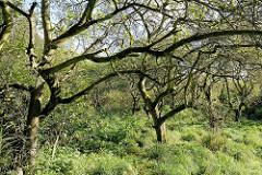 Alte Apfelbäume - ehem. Apfelplantage im ehem. Dorfgebiet von Hamburg Altenwerder.