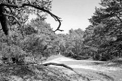Sanddünen und Kiefern im Naturschutzgebiet Besenhorster Sandberge und Elbsandwiesen bei Geesthacht.