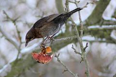 Drossel im Apfelbaum - frißt einen Winterapfel, der bei der Apfelernte im Baum belassen wurde.