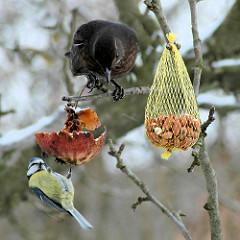 Eine Meise frisst vom Apfel im Winter am Baum - eine Drossel beobachtet den Vogel; Netz mit Erdnüssen als Vogelfutter.
