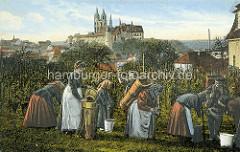 Altes Bild - historische colorierte Ansicht vom Ratsweinberg in Meißen - Frauen und Männer bei der Weinlese / Weinernte - Weinreben und Kiepen; im Hintergrund die Albrechtsburg und der Dom mit den neugotischen Kirchtürmen.