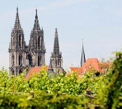 Weinreben / Weinstöcke auf dem Ratsweinberg von Meißen - dahinter die neogotischen Kirchtürme vom St. Johannis und St. Donatus Dom.