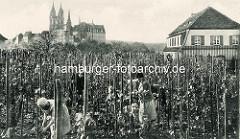 Altes Bild - historische Ansicht vom Ratsweinberg in Meißen - Frauen bei der Weinlese / Weinernte zwischen Weinreben; im Hintergrund die Albrechtsburg und der Dom mit den neugotischen Kirchtürmen.