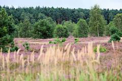 Heidelandschaft bei Bispingen - blühende Heide, Gräser, Birken und Tannenwald.