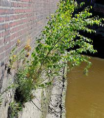 Kaimauer am Oberhafenkanal in Hamburg Rothenburgsort - junge Birken und Grünpflanzen wachsen aus dem Mauerwerk.
