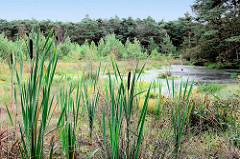 Pietzmoor im Naturschutzgebiet Lüneburger Heide bei Schneverdingen - mit Wasser gefüllter Torfstich, Schilfgras und Wälder.