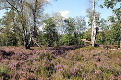 Blühende Heide - Birken in der Sonne, Naturschutzgebiet Lüneburger Heide.