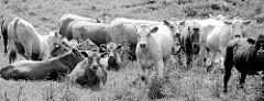 Neugierige Kälber gucken; Kuhherde auf einer Weide bei der Hetlinger Schanze.