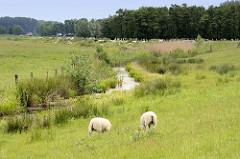 Schafe auf der Wiese am Sommerdeich bei der Hetlinger Schanze - Entwässerungsgraben am Uferrand mit Schilf bewachsen.