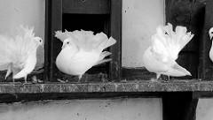 Taubenschlag mit weißen Pfauentauben auf der Wartburg in Eisenach