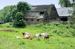 Bauernhof mit Reetdach Scheunen / teilweise eingestürzt, Herde mit Kälbern auf der Weide bei der Hetlinger Schanze.