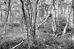 Schwarzweiß Darstellung eines kleinen Birkenwäldchen zu mit jungen Birken im Teufelsmoor bei Worpswede.