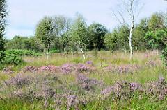 Naturschutzgebiet Teufelsmoor, blühendes Heidekraut im hohen Gras - junge Birken und Sträucher.
