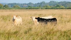 Kühe auf einer Weide mit hohem Gras im Teufelsmoor bei Worpswede.