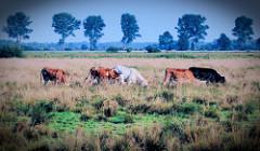 Kühe grasen auf einer Weide im Teufelsmoor bei Worpswede.