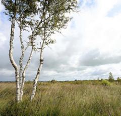 Naturschutzgebiet Teufelsmoor bei Worpswede,  Birkenstämme im hohen Gras - dunkle Wolken am Himmel.