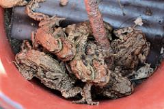 In einem Eimer eingefangene Kröten, die bei ihrer Wanderung am Tangstedter Forst vom Krötenzaun aufgehalten wurden.