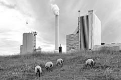 Schafe grasen am Deich - dahinter das Steinkohlekraftwerk von Wilhelmshaven. Das Kraftwerk  liegt im Rüstersieler Groden.