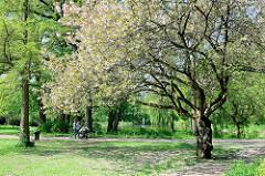Frühling in Hamburg Hamm - blühende Zierkirsche im Hammer Park.