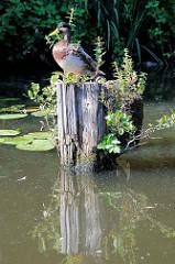 Alte Holzpfähle / Reste von Holzdalben im Billekanal von Rothenburgsort - eine Ente sitzt auf dem Holzpflock in der Sonne am Wasser - aus dem vermoderten Holz wächst Wildkraut und kleine Bäume.