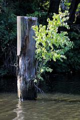 Alter Holzpfahl / Rest vom Holzdalben im Billekanal von Rothenburgsort. Aus dem vermoderten Holz wächst eine junge Birke.