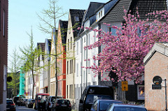 Wohnhäuser, blühende japanische Zierkirsche im Kreuzviertel von Münster.