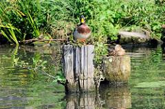 Alte Holzpfähle / Reste von Holzdalben im Billekanal von Rothenburgsort - Enten sitzen in der Sonne am Wasser.