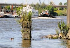Alte vermoderte Holzdalbe im Wasser des Reiherstiegs von Hamburg Wilhelmsburg; Planzen wachsen im verwitterten Holz.