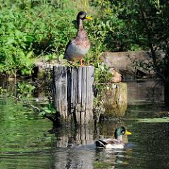 Alte Holzpfähle / Reste von Holzdalben im Billekanal von Rothenburgsort - Enten sitzen in der Sonne am Wasser - aus dem vermoderten Holz wächst Wildkraut und kleine Bäume.