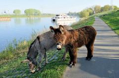 Esel grasen am Ufer der Maas auf den Weg nach Roermond; im Hintergrund legt ein Ausflugsschiff an.
