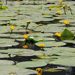 Am Ufer des Billbrookkanals bedecken gelbe Teichrosen / Teichmummel (Nuphar lutea) das Wasser.
