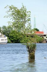 Reste eines alten Holzdalbens im Hamburger Hafen - eine junge Birke wächst aus dem vermoderten Holz - an dem Pfahl haben früher Schiffe festgemacht.