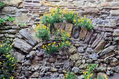 Altes Mauerwerk an der Universität von Maastricht - Mauer mit Feldsteinen, gelb blühendes Wildkraut wächst in den Mauerritzen.