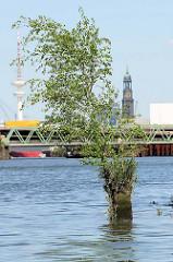 Reste eines alten Holzdalbens im Hamburger Hafen - eine junge Birke wächst aus dem vermoderten Holz - an dem Pfahl haben früher Schiffe festgemacht. Im Hintergrund die Türme der St. Michaeliskirche und Fernsehturm.
