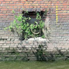 Alte Kaimauer mit Ziegelsteinen im Hamburger Hafen - eingelassener Eisenring zum Festmachen von Schiffen; altes Tauwerk hängt im Waser - Grünpflanzen wachsen in den Mauerritzen.