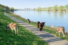 Esel grasen am Ufer der Maas auf den Weg nach Roermond; im Hintergrund die Maasschleuse bei Belfeld
