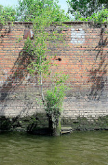 Reste eines Streichdalbens vor einer alten Kaimauer im Hambuger Hafen - auf dem vermoderten Holz wachsen Grünpflanzen / eine junge Birke.