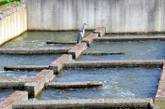 Fischtreppe an der Rur von Roermond, ein Fischreiher wartet auf seine Beute.
