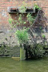 Reste eines Streichdalbens vor einer alten Kaimauer im Hambuger Hafen - auf dem vermoderten Holz wachsen Grünpflanzen.