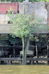 Durch Niedrigwasser freigelegte Kaimauer im Moldauhafen - Hamburg Kleiner Grasbrook; die Betonstützen der Kaianlage ruhen auf einer Holzkonstruktion. Eine junge Birke wächst aus einem Holzdalben.
