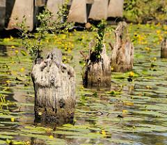 Reste von alten Holzpfählen im Jaffe David Kanal von Hamburg Wilhelmsburg - kleine Birken wachsen aus dem vermoderten Holz.