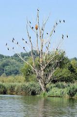 Westoder auf dem Weg nach Stettin; dichter Baumbestand bis ans Ufer der Oder.  Auf einem abgestorbenen Baum sitzen Kormorane auf den Ästen.