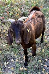 Eine Buren-Ziege  im Naturschutzgebiet Höltigbaum im Hamburger Stadtteil Rahlstedt ; die Ziege wird zur Landschaftspflege eingesetzt und hat ihren Ursprung in Südafrika.