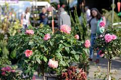 Wochenmarkt im Hamburger Stadtteil Groß Flottbeck / Osdorfer Landstraße - Pflanzenverkauf, Rosenstöcke.
