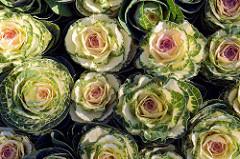 Zierkohl, Brassica oleracea var. acephala zum Verkauf  an einem Pflanzenstand auf dem Wochenmarkt in Hamburg Blankenese.