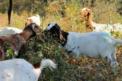 Eine Herde Buren-Ziegen  wird zur Landschaftspflege im Naturschutzgebiet Höltigbaum im Hamburger Stadtteil Rahlstedt eingesetzt; die Ziege hat ihren Ursprung in Südafrika.