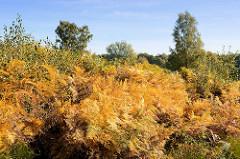 Farn in gelber Herbstfärbung im Naturschutzgebiet Höltigbaum im Hamburger  Stadtteil Rahlstedt.