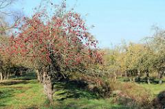 Apfelbäume mit roten und gelben Äpfeln   einer Apfelplantage im Herbst im Hamburger Stadtteil Finkenwerder.